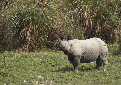 Kaziranga, Indian Rhino