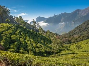 Rundreise Indien Teeplantage