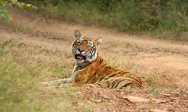 Indien Ranthambore Bengal Tiger
