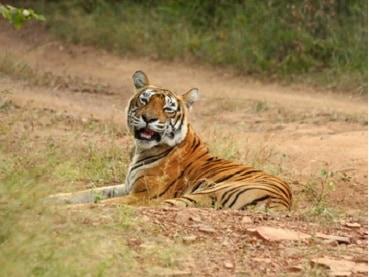Rundreise Indien Bengal Tiger