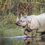Chitwan_Panzernashorn
