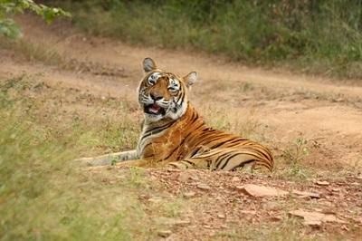 Chitwan Bengal Tiger